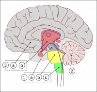 http://es.wikipedia.org/wiki/Archivo:Encephalon_human_sagittal_section_multilingual.svg
