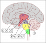 neurali:encephalon_human_sagittal_section_multilingual.png